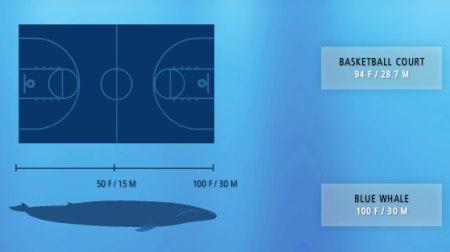 Resultado de imagen de curiosidades de la ballena azul