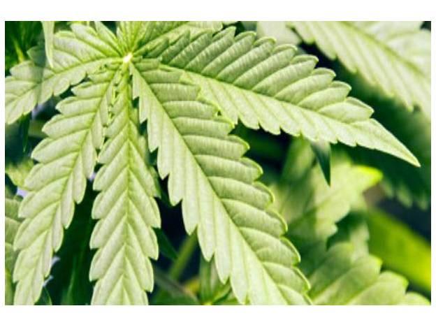 marihuana.jpg_869080375
